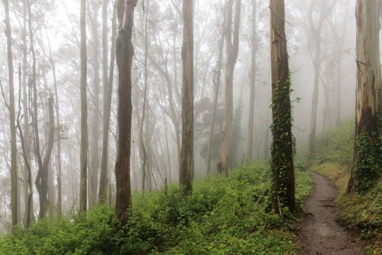 Eucalyptus forest near Mount Sutro in San Francisco, CA
