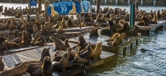 sea lions on the docks at pier 39 in san francisco